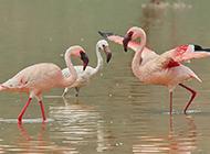 非洲火烈鸟戏水玩耍图片