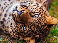 中国野生花豹图片桌面壁纸