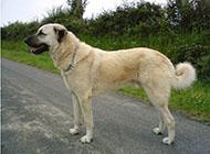 土耳其著名猛犬坎高犬图片