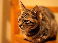 中华田园猫唯美写真图片大全