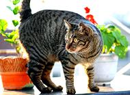 中华狸花猫机灵可爱图片