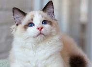 温顺喜静的布偶猫图片壁纸