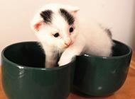 两个月的小茶杯猫图片大全