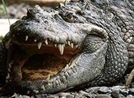活化石鳄鱼高清图片特写