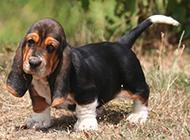 蠢萌搞笑的巴吉度犬图片