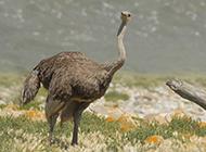 非洲鸵鸟身材高大图片