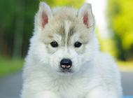 可爱的哈士奇小狗摄影图片