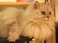 英短金吉拉猫图片表情惊讶呆萌
