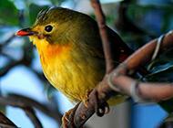红嘴白玉鸟精巧迷人图片