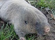 长相个性的中华鼢鼠图片