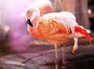 粉红色火烈鸟唯美壁纸图片