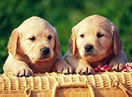 可爱金毛狗狗幼犬图片欣赏