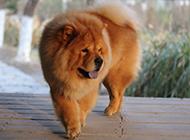 狮系藏獒犬调皮吐舌图片