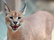 非洲狞猫图片表情凶狠霸气