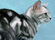 纯种美国短毛猫侧身特写图片