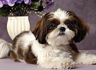 招人喜欢的小西施犬图片