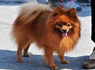 可爱狐狸犬吐舌撒娇图片
