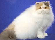 纯种极品成年波斯猫图片