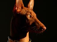 小型法老王猎犬警惕眼神图片