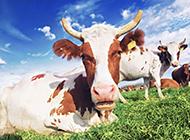 草地上自由休闲的荷兰奶牛图片欣赏