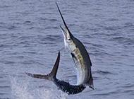 海平面跳跃的银剑鱼图片