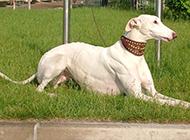 趴在草地上的纯种格力犬图片