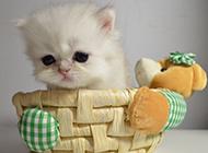 白色纯种波斯猫可爱图片