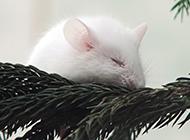 小白鼠安静睡觉图片