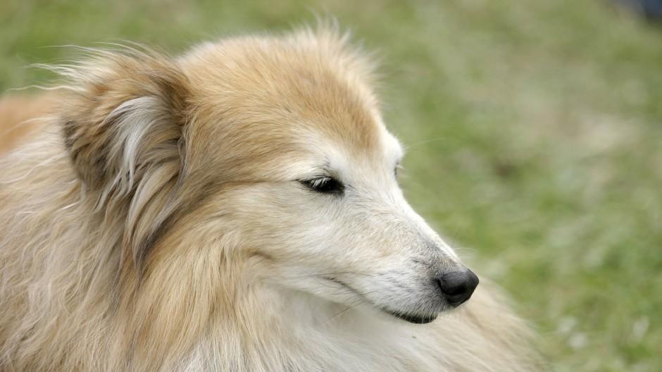 大型狐狸犬眼神专注特写图片