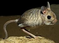 矫健敏捷的长耳跳鼠图片
