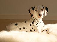 大麦町犬帅气斑点狗图片