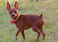 小鹿犬聪明活泼图片