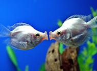 接吻鱼高清无水印图片壁纸精选