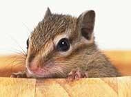 可爱小仓鼠精美高清写真组图