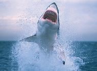 深海大嘴鲨鱼跳跃图片