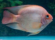 可爱的鹦鹉鱼品种图片