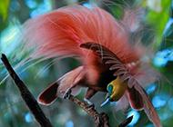 美丽的珍禽新几内亚天堂鸟图片