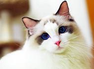 唯美布偶猫图片壁纸大全