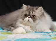 高贵的波斯猫实拍图片欣赏