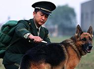 身姿壮实帅气的警犬图片
