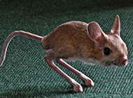 长耳跳鼠图片动作敏捷迅速