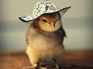 呆萌宠物可爱小鸡图片