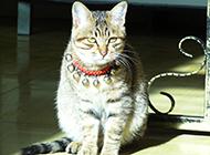 家庭宠物中华田园猫图片大全