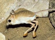 活泼乱跳的沙漠跳鼠图片