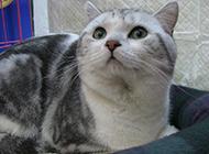 英短虎斑猫机智灵敏图片