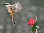 灰背伯劳鸟羽翼丰满图片