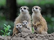 长相可爱呆萌的非洲猫鼬家族图片