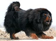 狮系藏獒犬霸气姿态图片