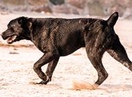 意大利卡斯罗犬行走图片