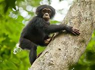 可爱大猩猩森林抓拍图片